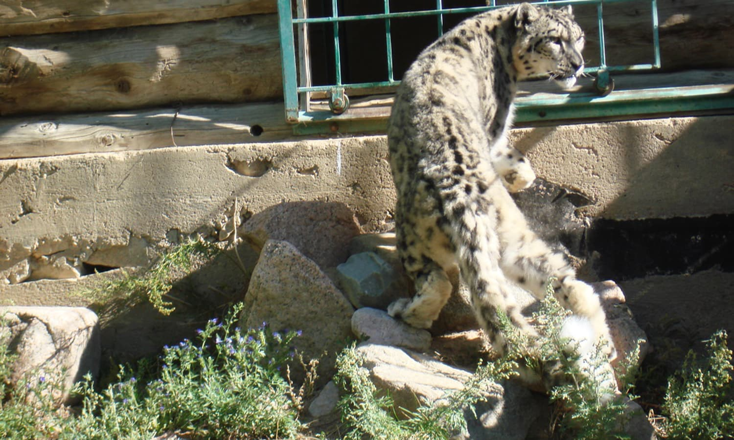 Photo of Alcu at the snow leopard rehabilitation centre, Issyk-Kul.— Photo by author/The Third Pole