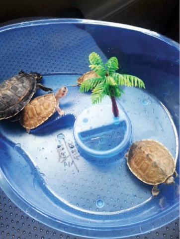 Protected Freshwater Turtles Confiscated Pakistan Dawn Com