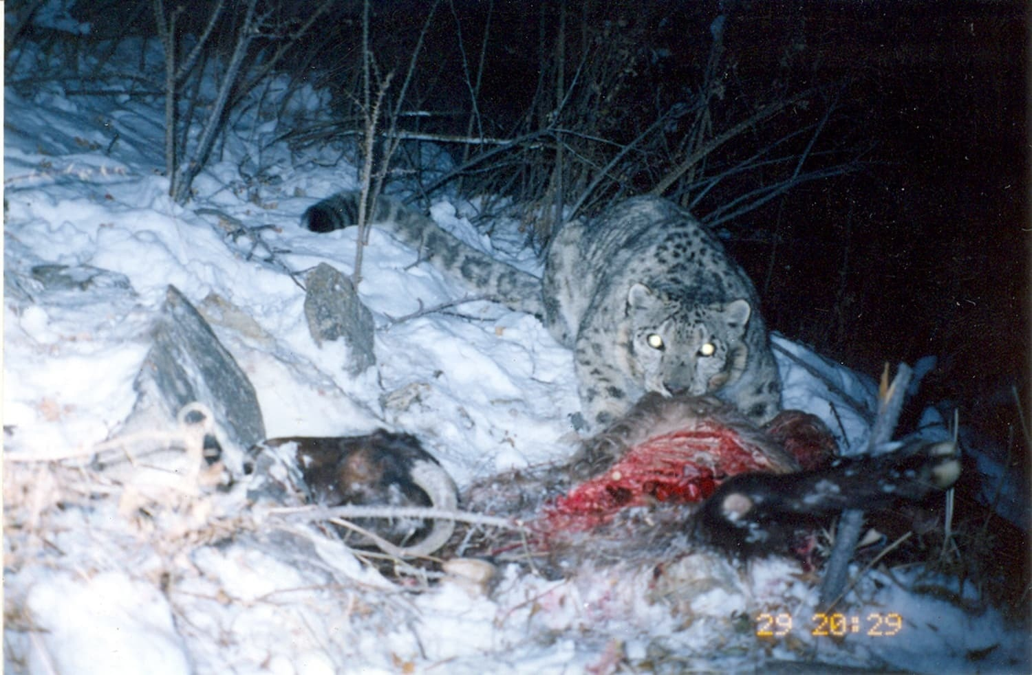 A snow leopard guarding its fresh kill in the still of the night.