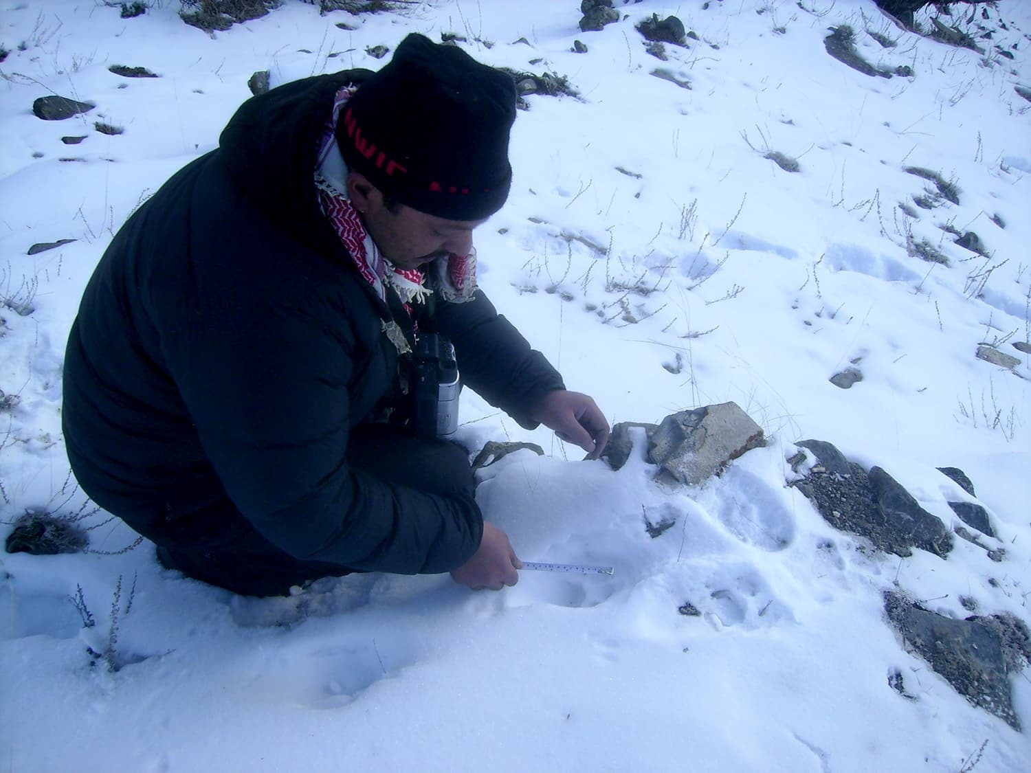 Taking a sample for a scientific survey on snow leopards.