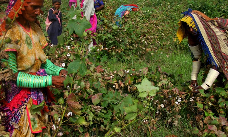 Picking cotton is a tedious and delicate task often handed to women and children, but since workers are in bondage, this is mostly unpaid labour - Photo by White Star
