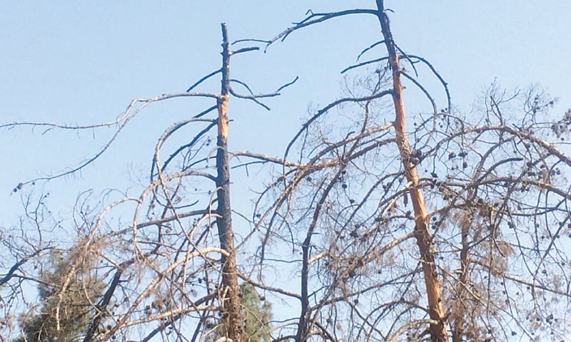 Dying Quetta pines like these in Balochistan University are becoming a coming sight in the city.— Photo by writer