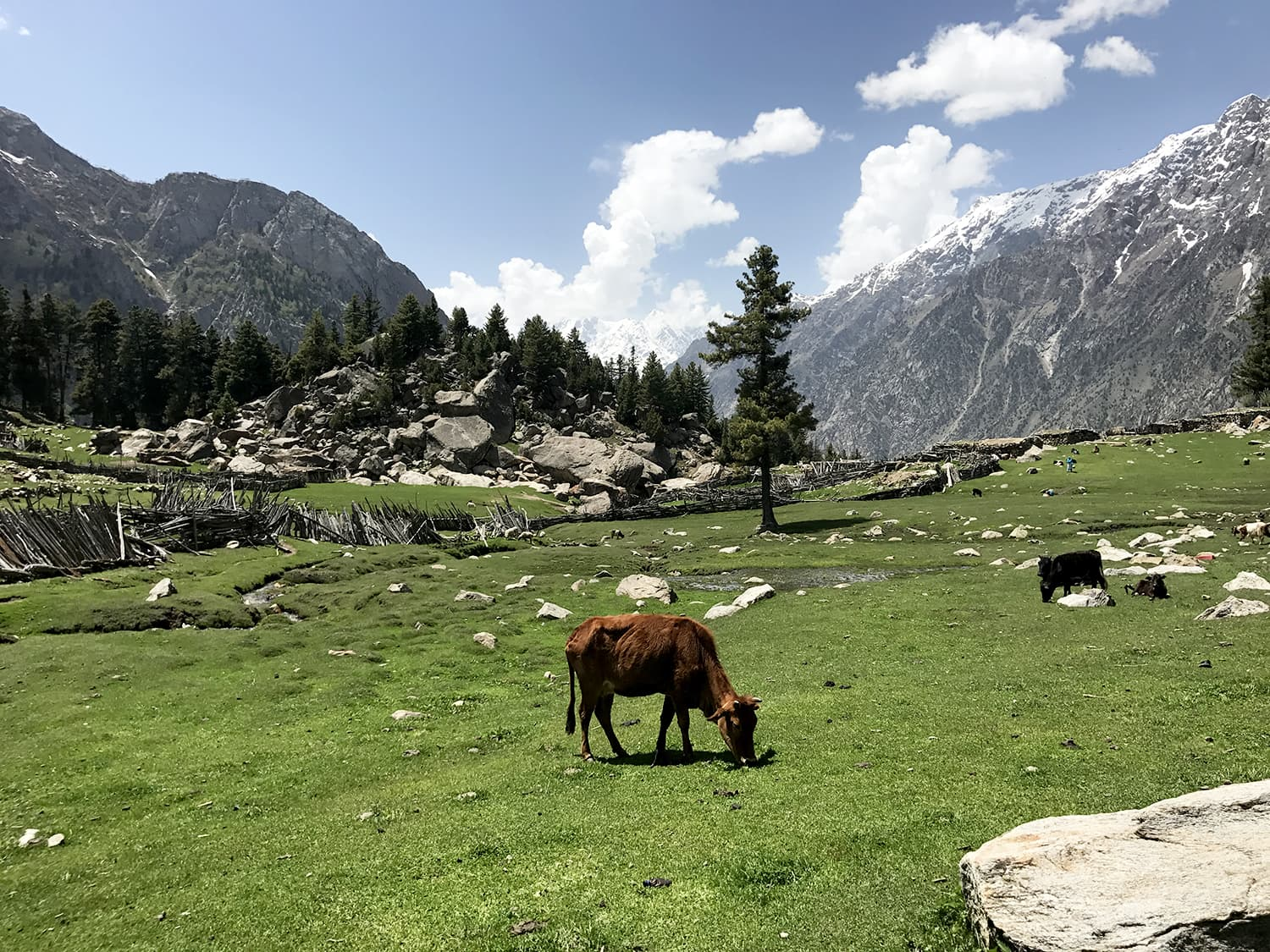 Cattle found at regular intervals of the trek.