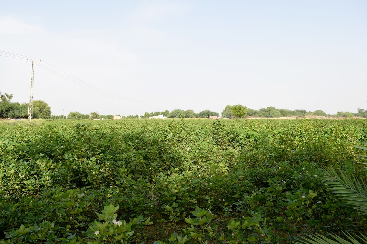 Cotton fields at Bela.