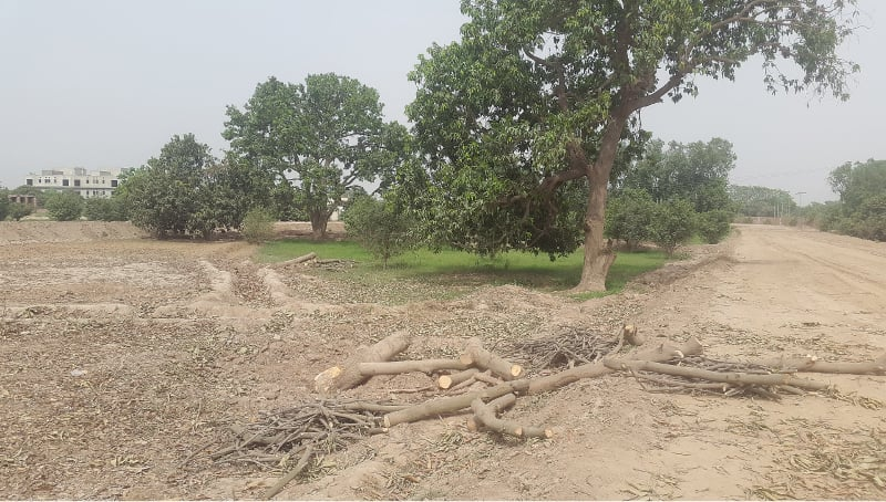 a common sight in colonies being constructed is the felling of mango trees   Photos by the writer