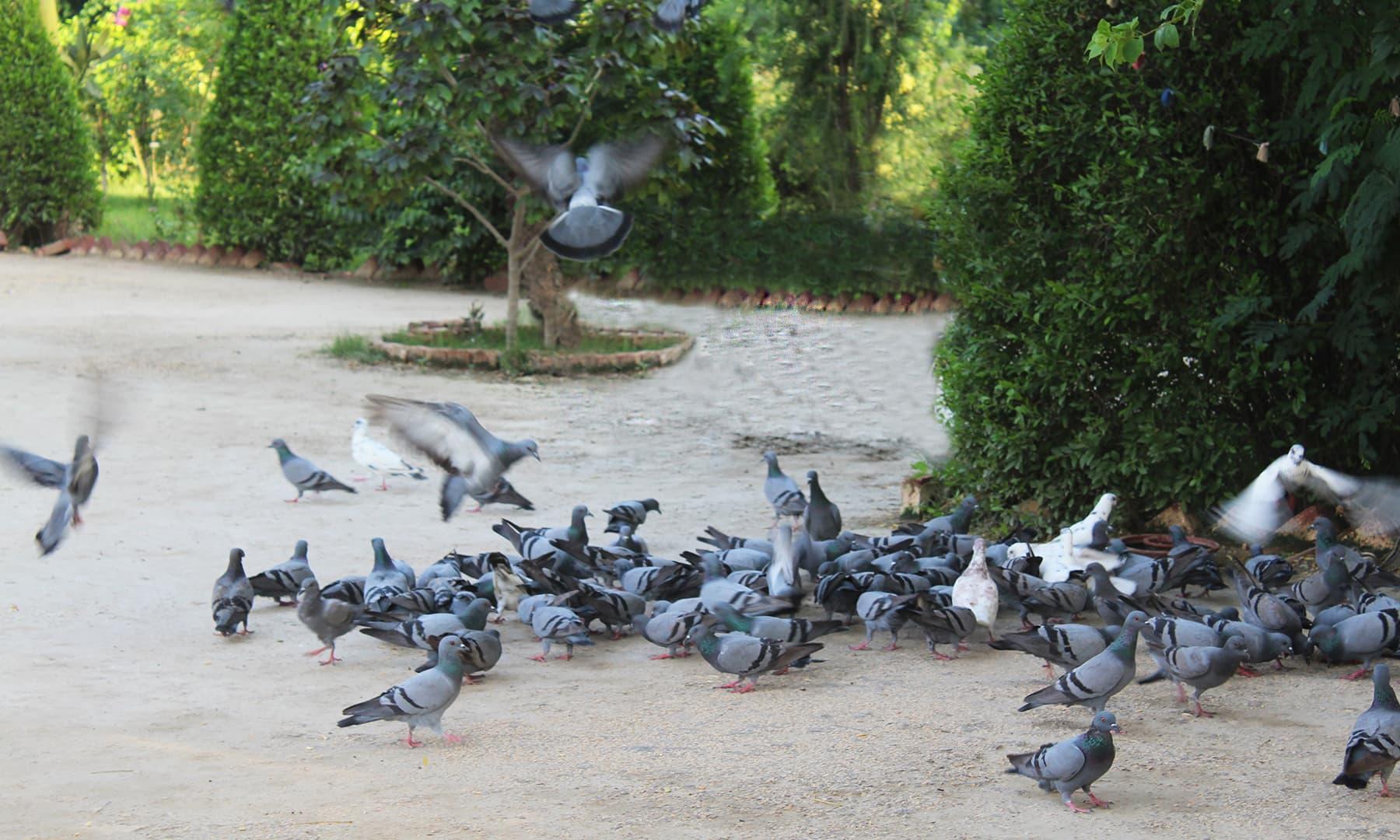 غلام حیدر کے مہمان خانے میں چرند پرند کو دانہ پانی ملتا ہے—تصویر اختر حفیظ