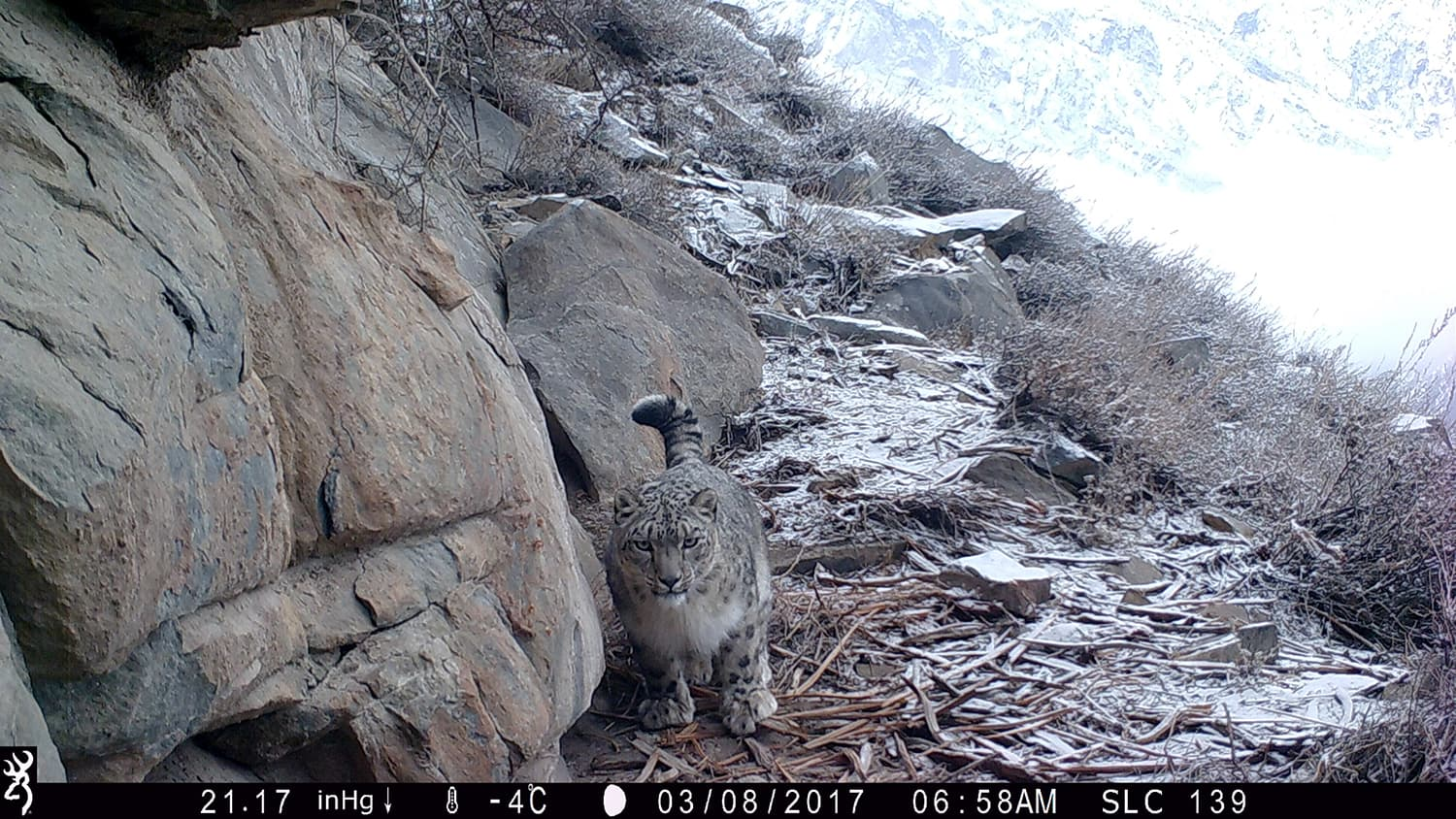 Snow leopard in Roundu Valley. -All photos and footage by Baltistan Wildlife Conservation and Development Organization (BWCDO)