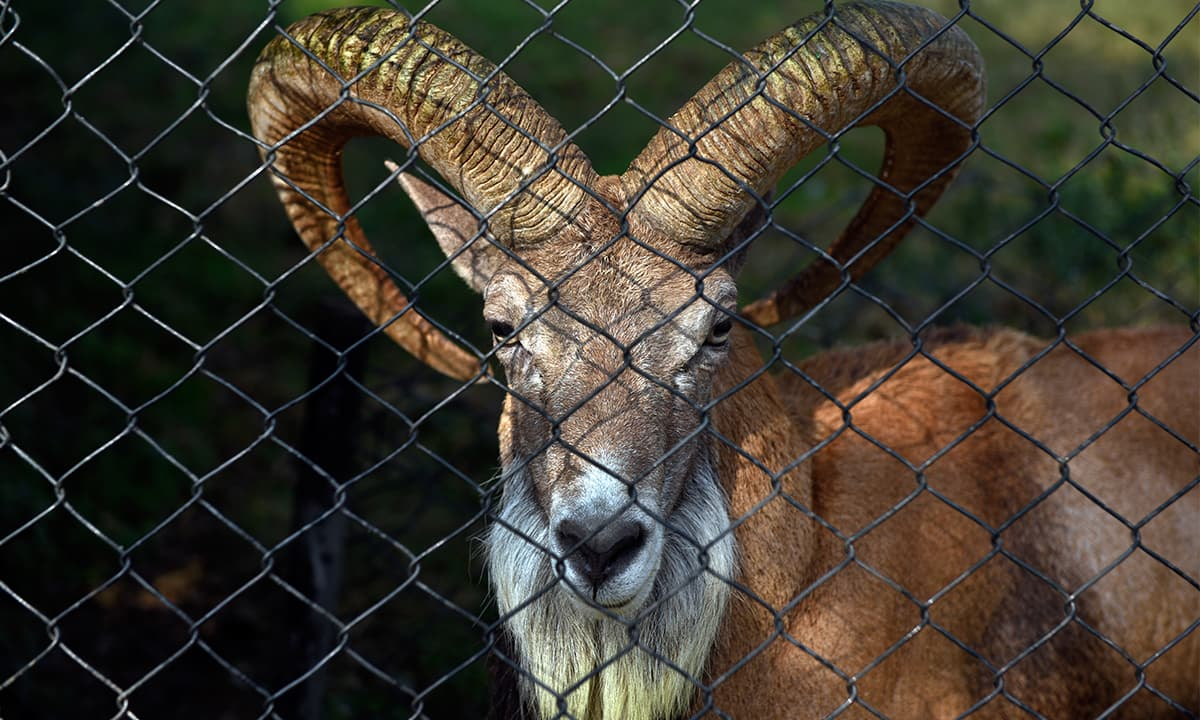 The ibex, as seen at the Islamabad Zoo,is indigenous to Apakistan; it is often a target for hunters |Tanveer Shahzad, White Star