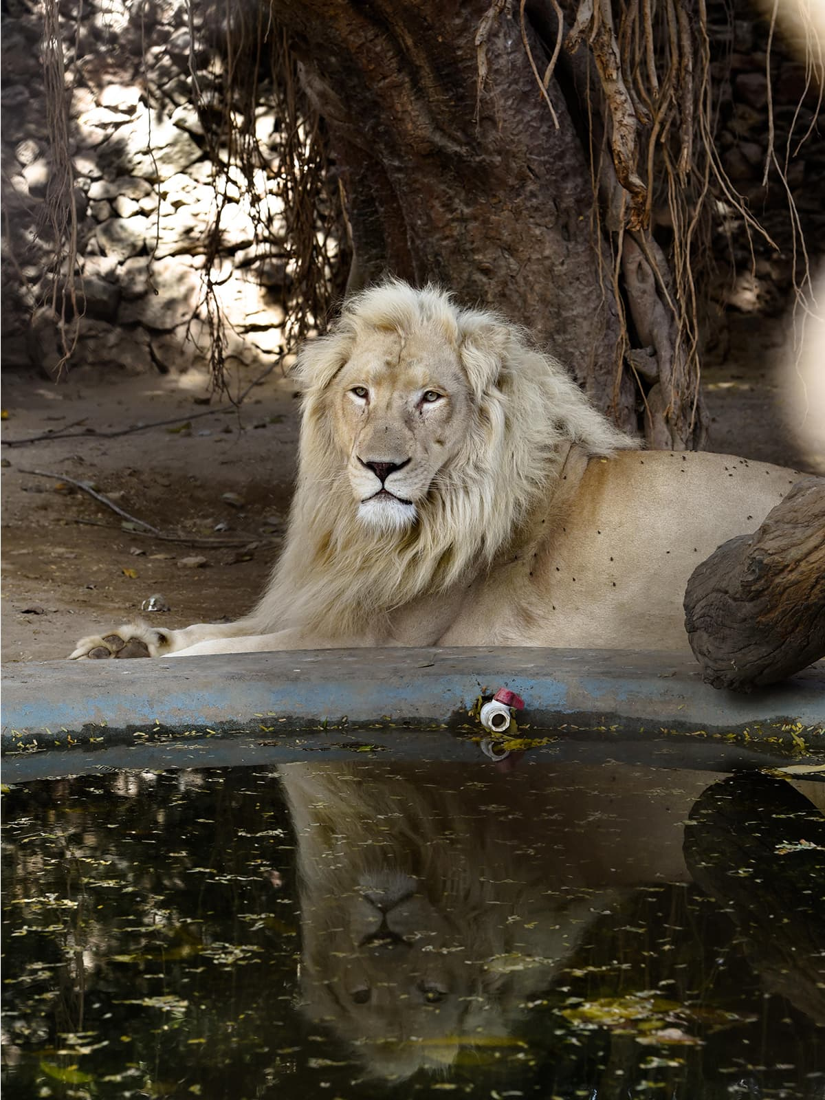 An African lion, also known as a Panthera leo, in its enclosure at the Karachi Zoo | Mohammad Ali, White Star