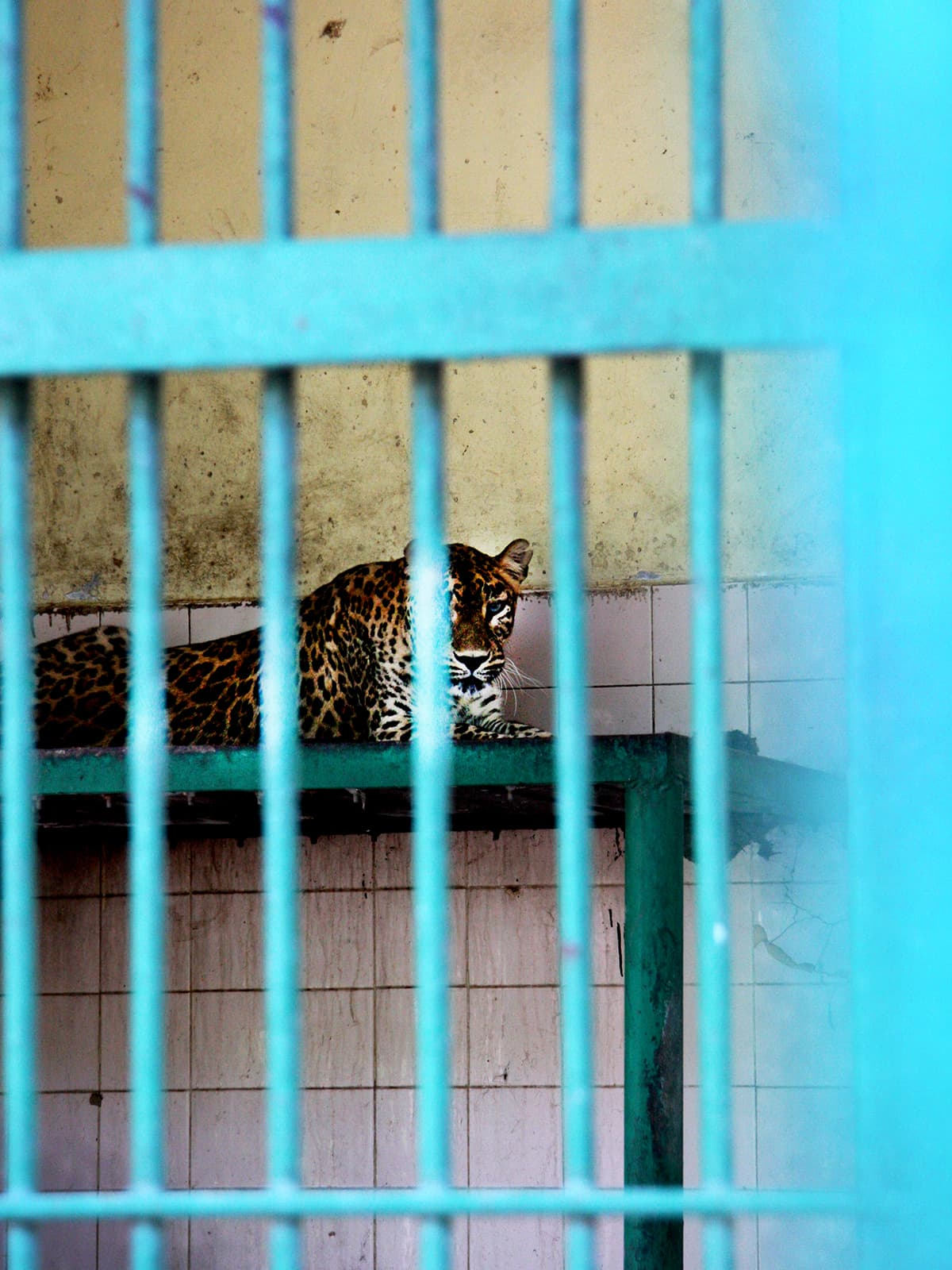 A leopard stares through the bars of his dirty cell in Karachi | Malika Abbas. White Star