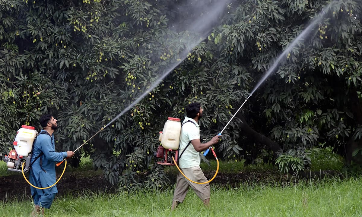 Men spraying lychee trees with pesticide using handheld pumps | Tariq Mahmood, White Star
