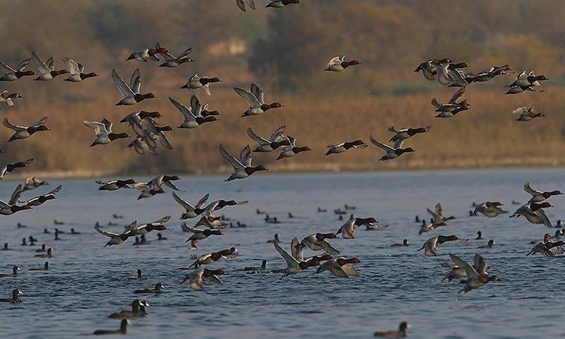 اچھالی جھیل میں ہجرت کرنے والے پرندے. فوٹو عارف علی-وائٹ اسٹار