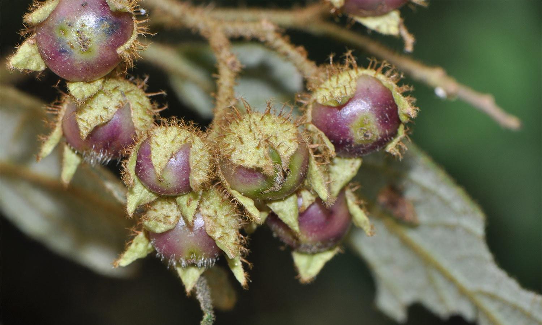 فوٹو بشکریہ solanaceaesource.org