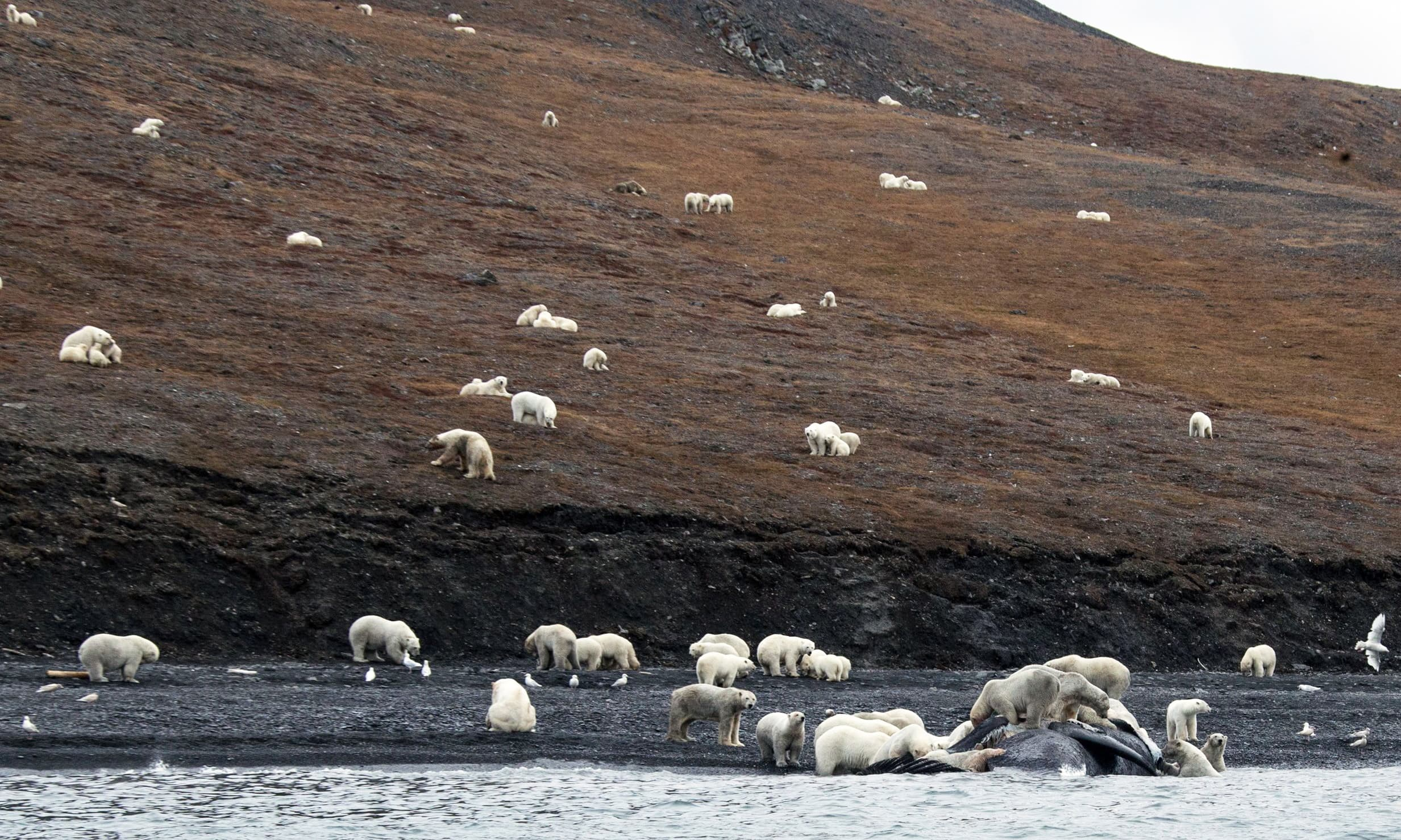 Climate change means ice, where polar bears are most at home, is melting earlier in the year and so polar bears have to spend longer on land. —AFP