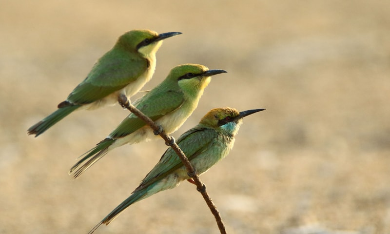 Green bee-eaters, Phase 8, DHA