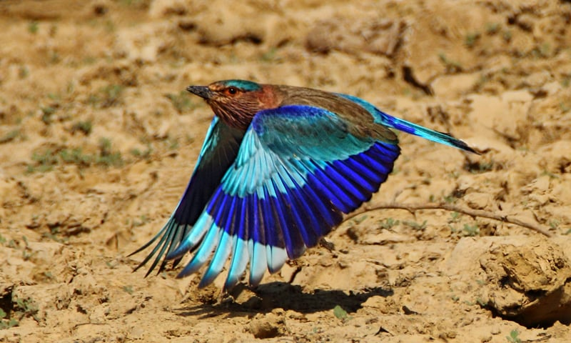 Indian roller hunts insects and small lizards found across the country