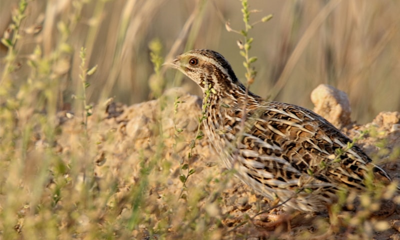 Common quail a winter visitor that faces netting and over-hunting