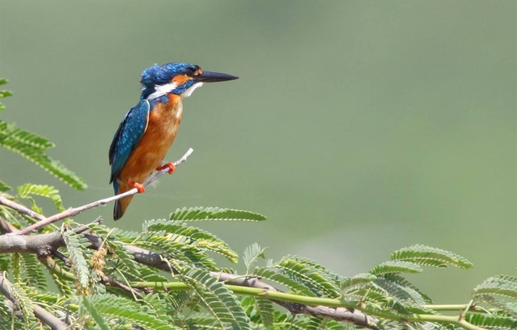 Not-so-common Common kingfisher