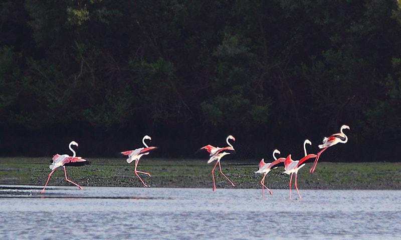 Greater flamingos, local migrants between Punjab and Sindh, shot near Port Qasim