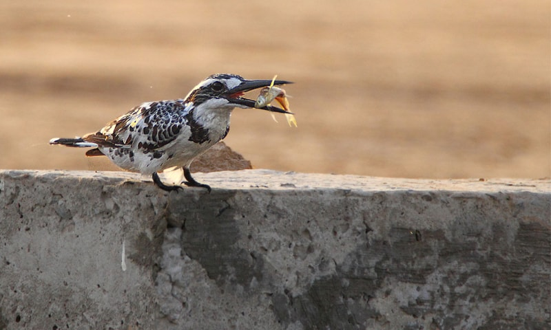 Pied kingfisher found near water bodies that have small fish