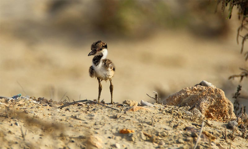 Juvenile red-wattled lapwing parents are ground breeders that breed in June
