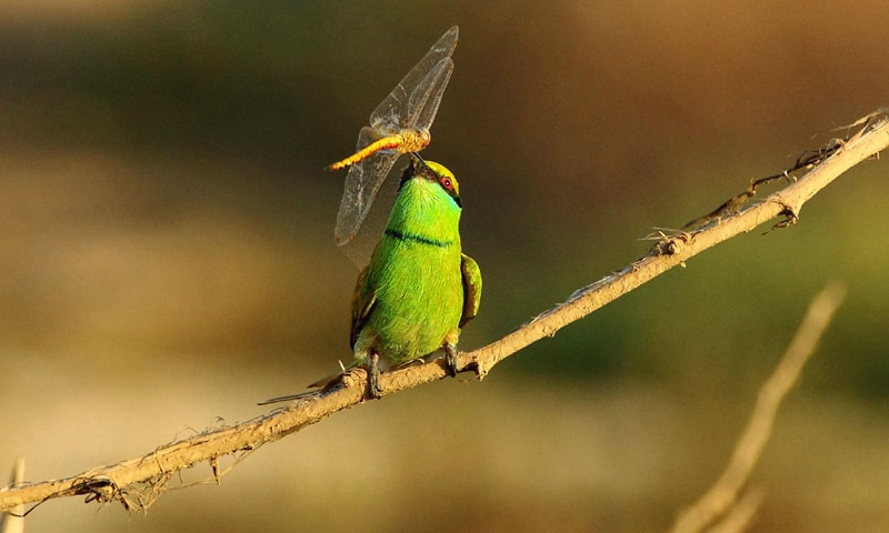 Green bee-eater hunts bees and other flying insects found across the country