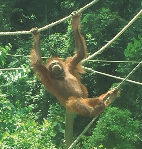 LEARNING the ropes: Ceria plays at the Sepilok Orangutan Rehabilitation Centre. —Photo by writer