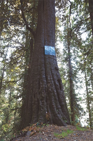 The difficult-to-read sign on the oak tree gives out its immense age and size