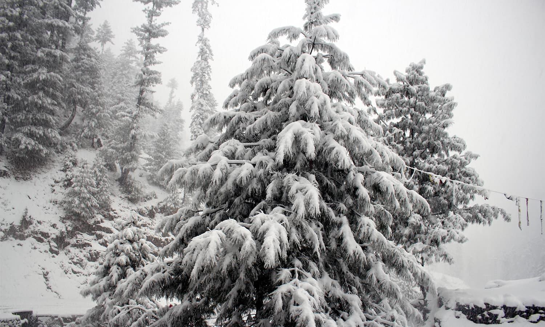 Heavy snow covers a tree in Shangla.— Umar Bacha