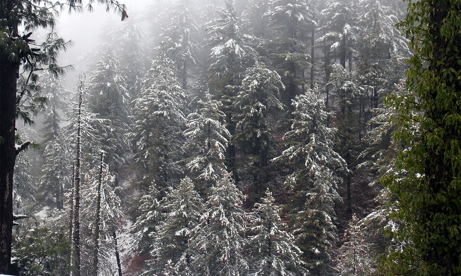 Trees are sprinkled with snow in Shangla.— Umar Bacha