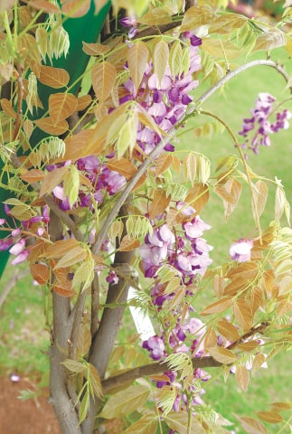 Wisteria sinensis | Photos by the writer