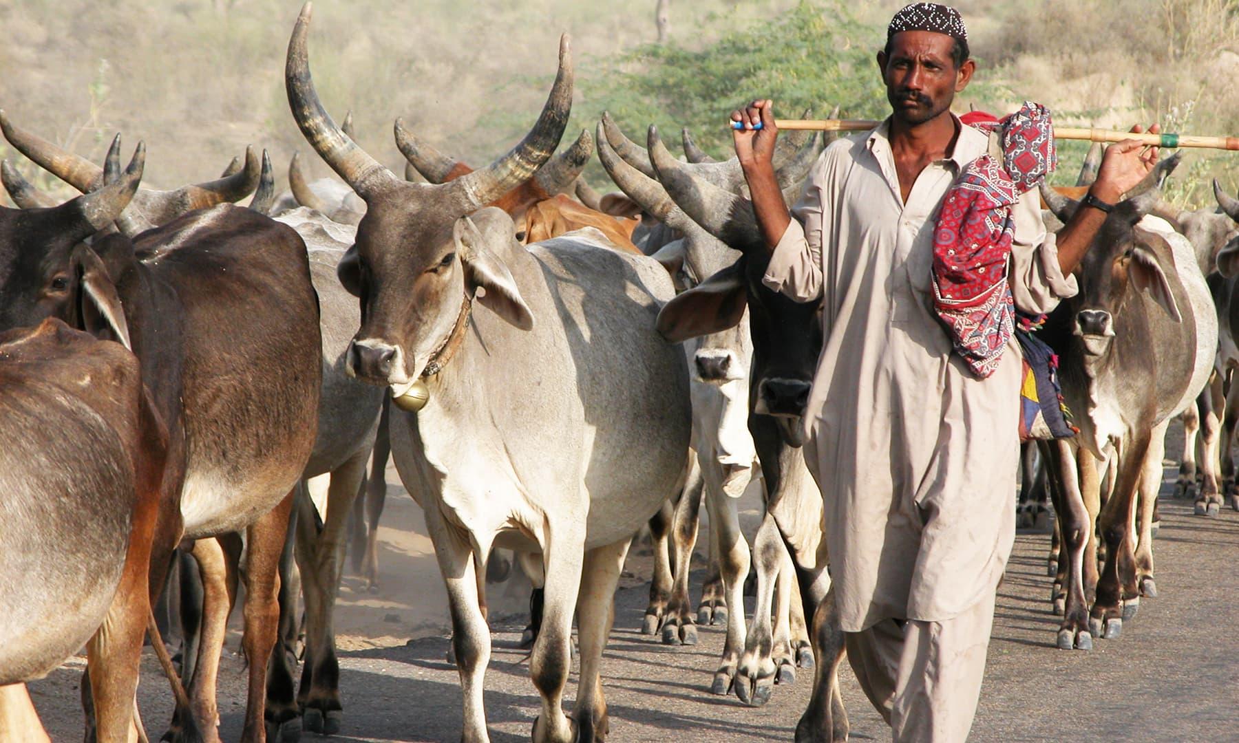 تھر کے مویشی —تصویر عبیداللہ کیہر