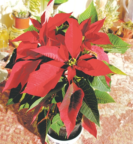 Poinsettia | Photos by the writer