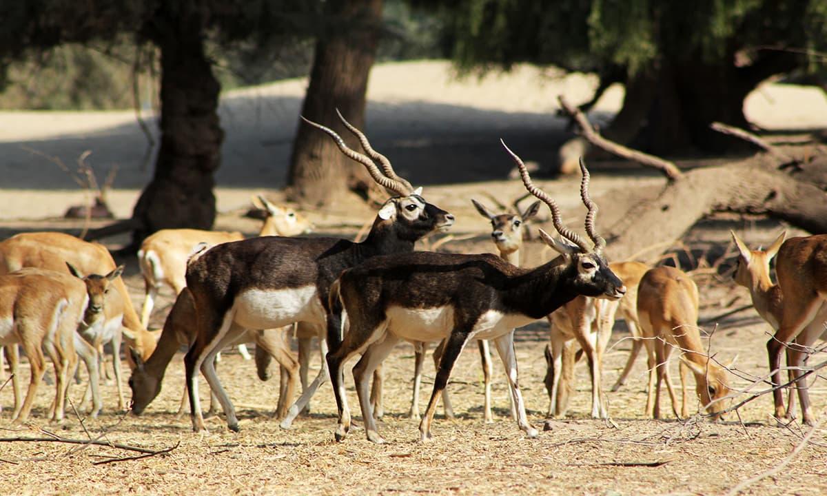 لال سوہانرا نیشنل پارک میں کالے ہرن۔— فوٹو عبیداللہ کیہر