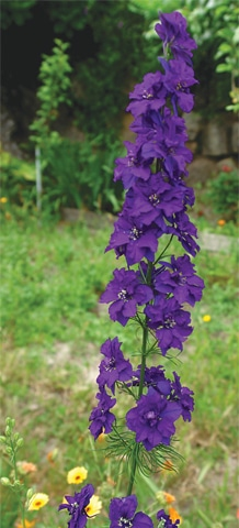 Flower of the month Larkspur