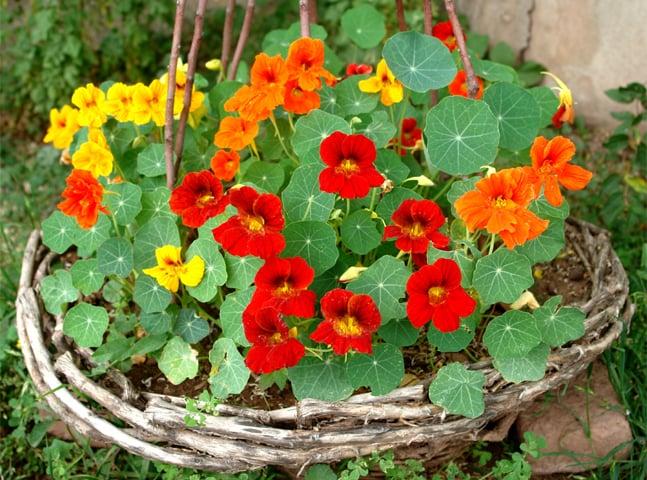 A basketful of nasturtiums