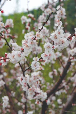 Pretty apricot blossom
