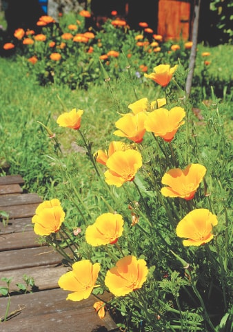 Californian poppies thrive in sunshine