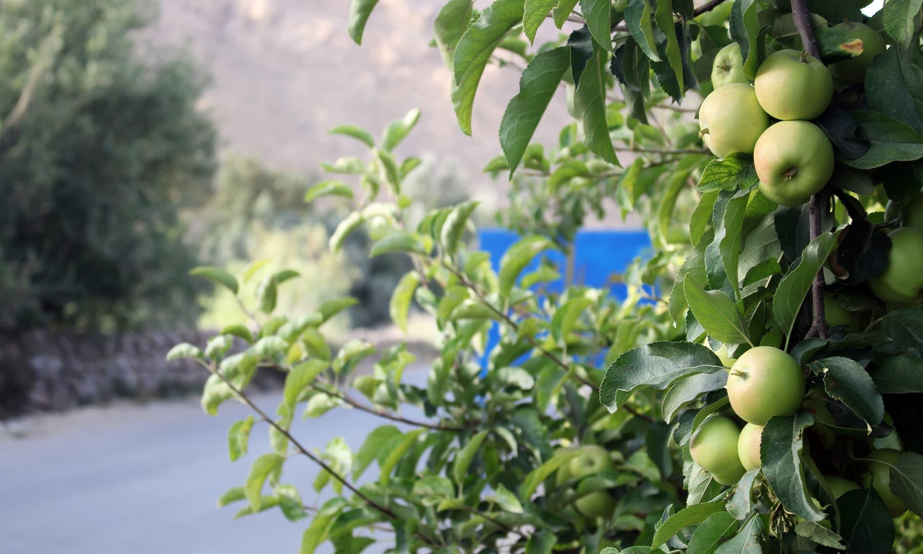 زیارت سے لورالائی جانے والے راستے میں سیب کے باغات— تصویر عبیداللہ کیہر