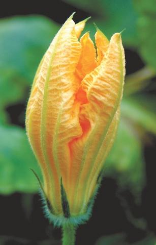 A pumpkin blossom
