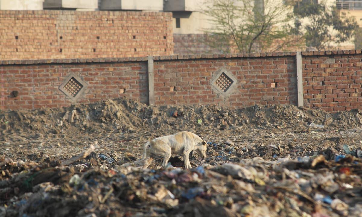 A dog rummages through rubbish in the garbage dump in which Zainab's body was found | Feryal Ali Gauhar