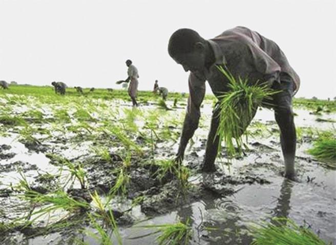 Rice exports grow, but basmati lacks lustre - Newspaper