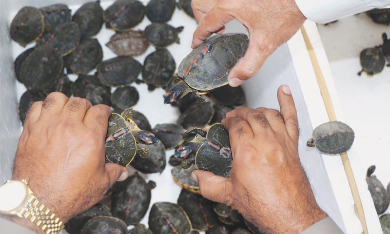 WILDLIFE department officials show to the media the turtles and tortoises seized in Liaquatabad on Thursday.—Online