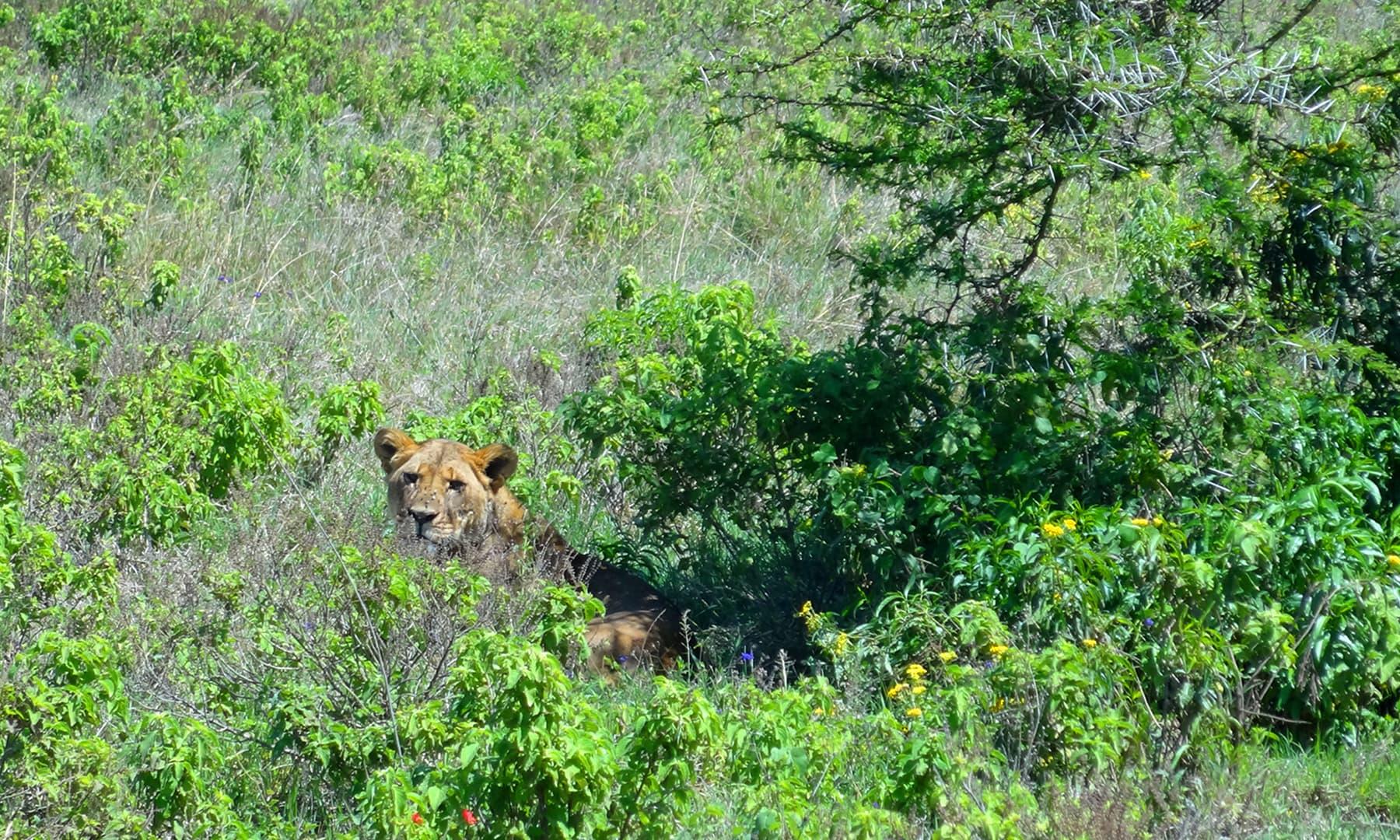 نیروبی کے نیشنل سفاری میں موجود شیر— فوٹو عظمت اکبر