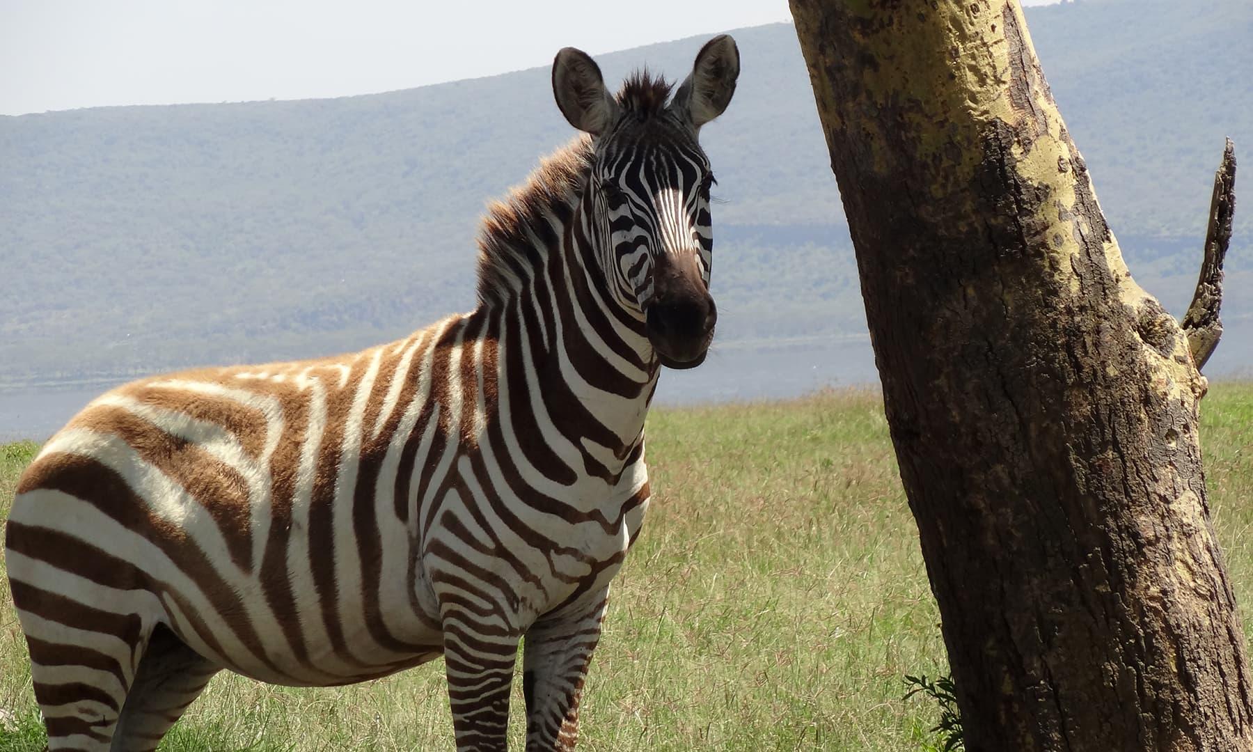 نیروبی کے نیشنل سفاری پارک میں خوبصورت زیبرا— فوٹو عظمت اکبر
