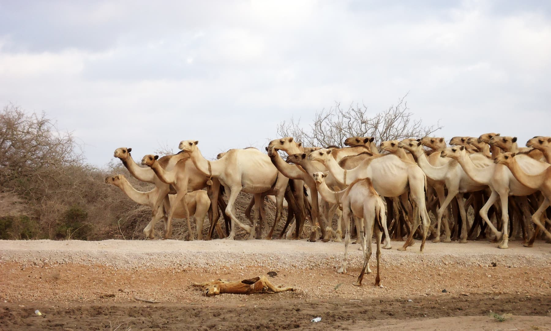 داداب کیمپ کے قریب بھوک و پیاس کی وجہ سے ایک جانور دم توڑ گیا— فوٹو عظمت اکبر