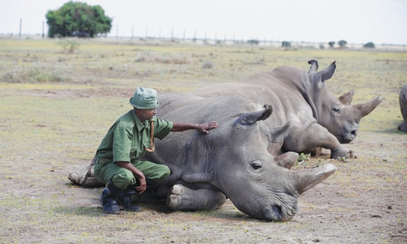 LAIKIPIA (Kenya): Sudan, the last surviving male northern white rhino, is being fed by a warden.—Reuters