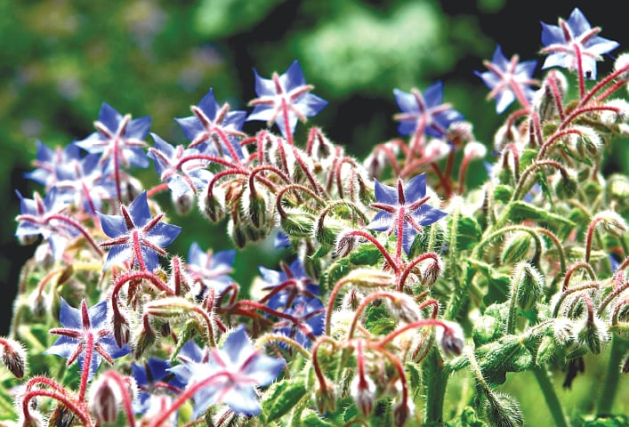 Azure borage