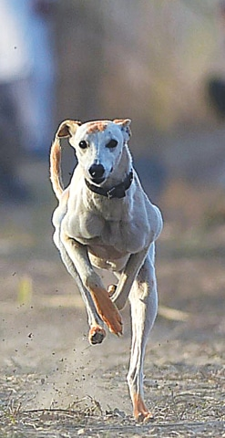 A hennaed hound in speed