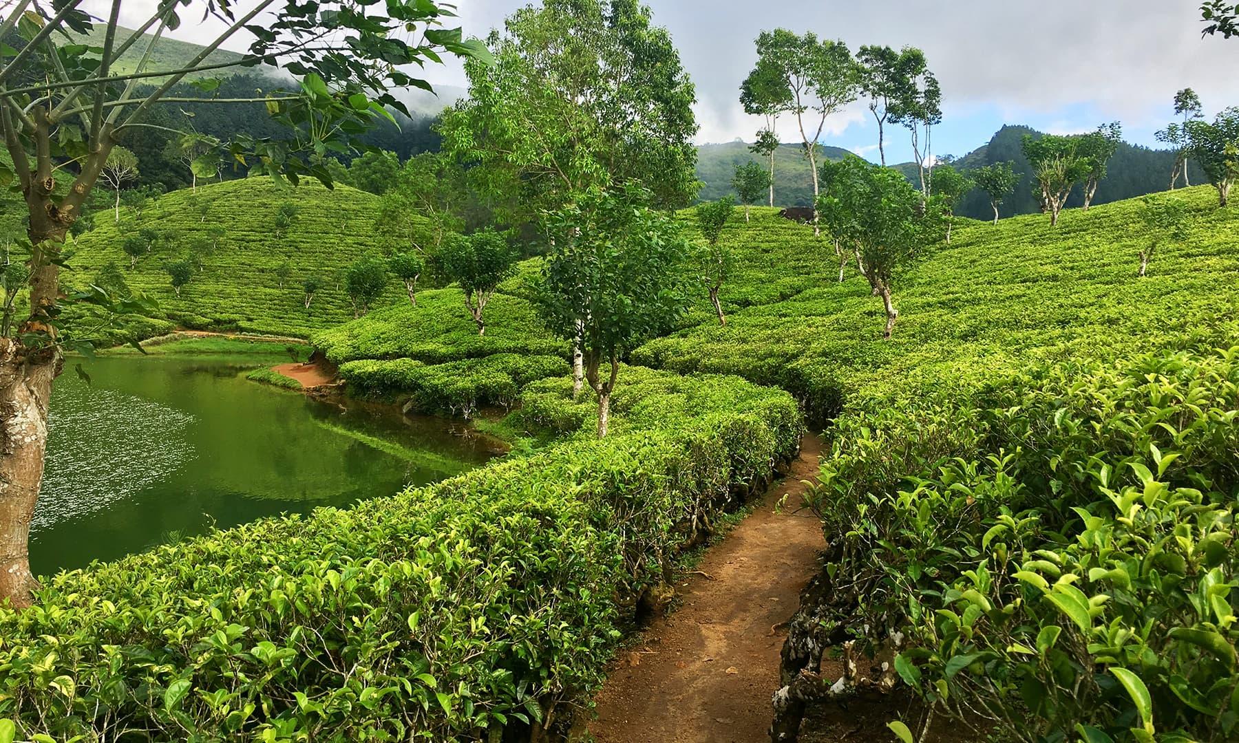 چائے کے باغات—تصویر امتیاز احمد